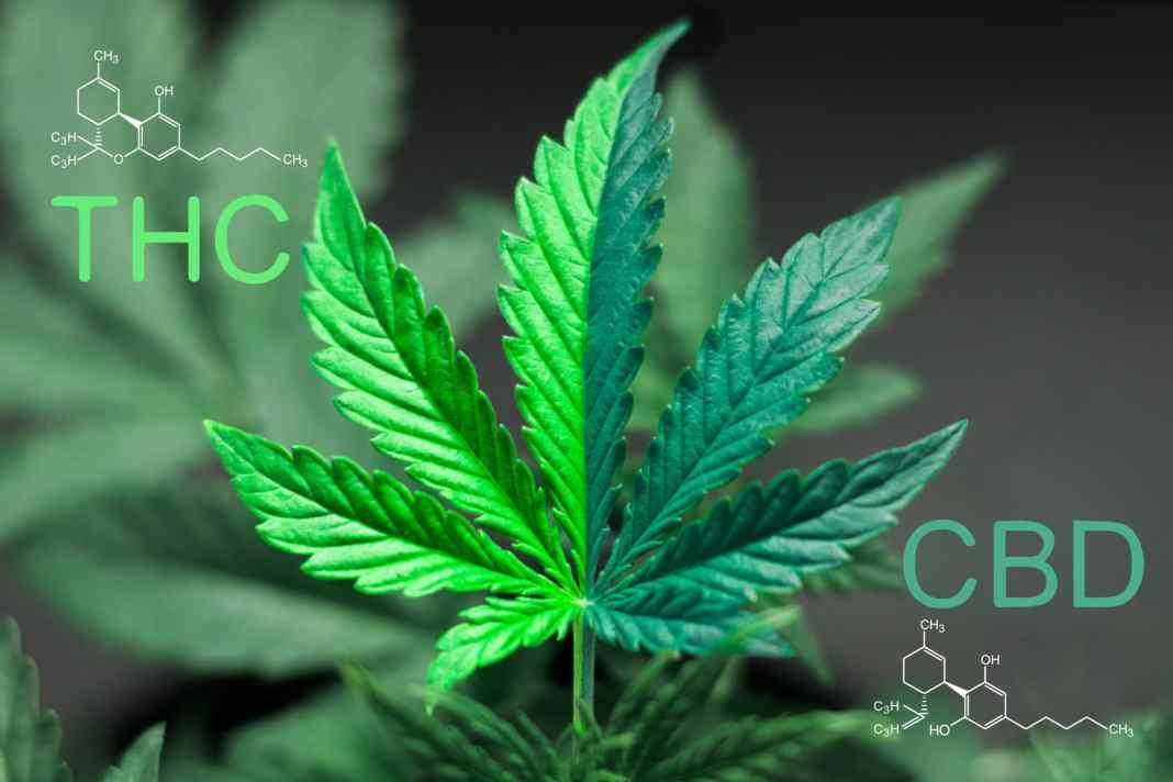 CBD vs THC for pain