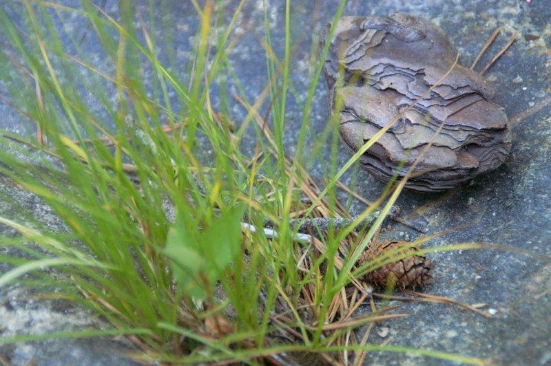 Sequoiagrass