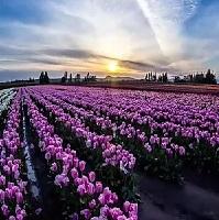 خلفيات طبيعة خلابة وساحرة من زهور التوليب في هولندا