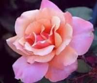 صور ورد جميل اجمل ورد طبيعي في العالم
