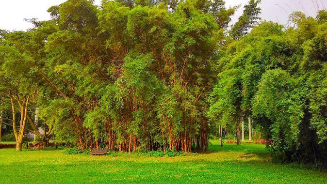 Bamboos_bambusa_vulgaris_sao_paulo_botanical_garden_brazil