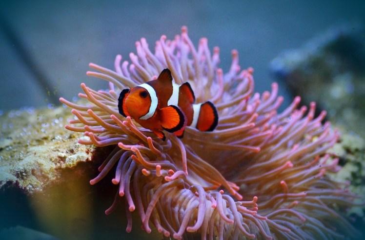 anemone-fish-1496889_960_720