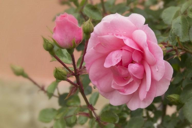 rose_pink_flower_flowers_pink_rose_tender_rose_pink_roses_rose_bush-613980.jpg!d