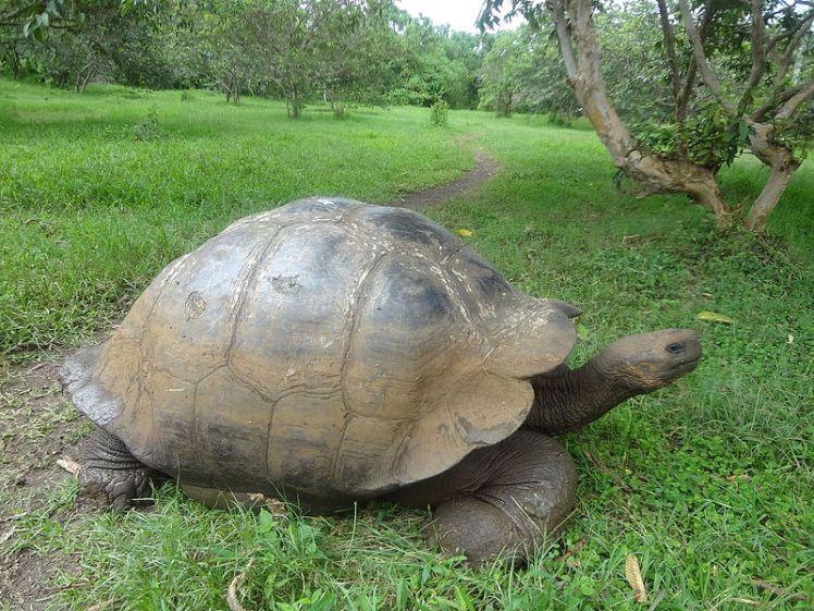 (Chelonoidis_nigra)_El_Chato_Reserve,_Santa_Cruz_Galapagos_)pic._l