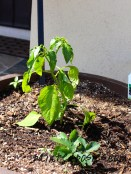 Pepper and Strawberry Plants