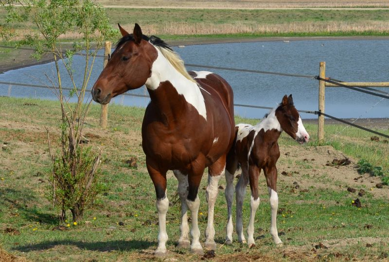 Paint mare sired by Scotcha Imperial