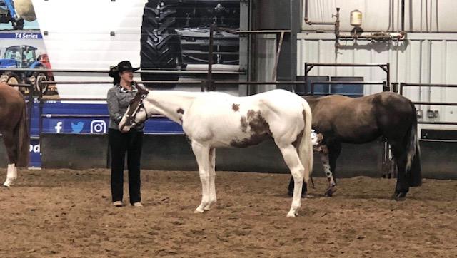 2 YO Paint gelding for sale shown in halter