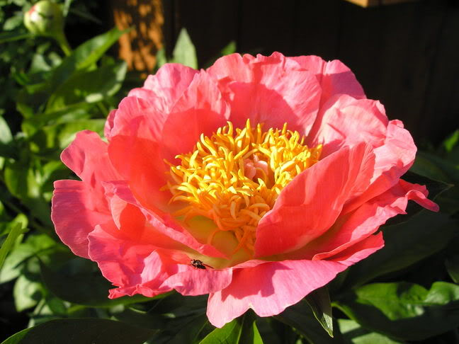 Coral-and-Gold-peony_BH