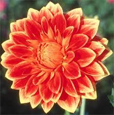 swan glory orange dhlia