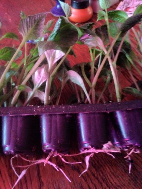 dahlia rooted cuttings