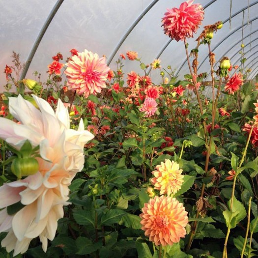 dahlias in cold frame 15
