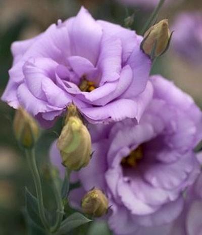 lavender-lisanthus