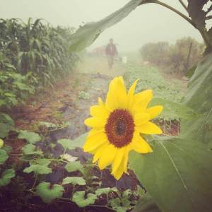 foggy sunflower