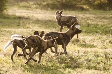 WIld Dog Group_19