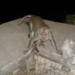 Фауна Индонезийских островов,обезьяны