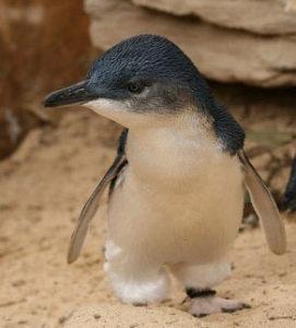 110714_fairy-penguin