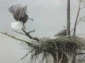 robert-bateman_the-return-bald-eagle-pair