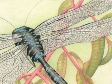 """""""Flying Dragons"""" 8x10"""" Colored Pencil on DuraLar Film"""