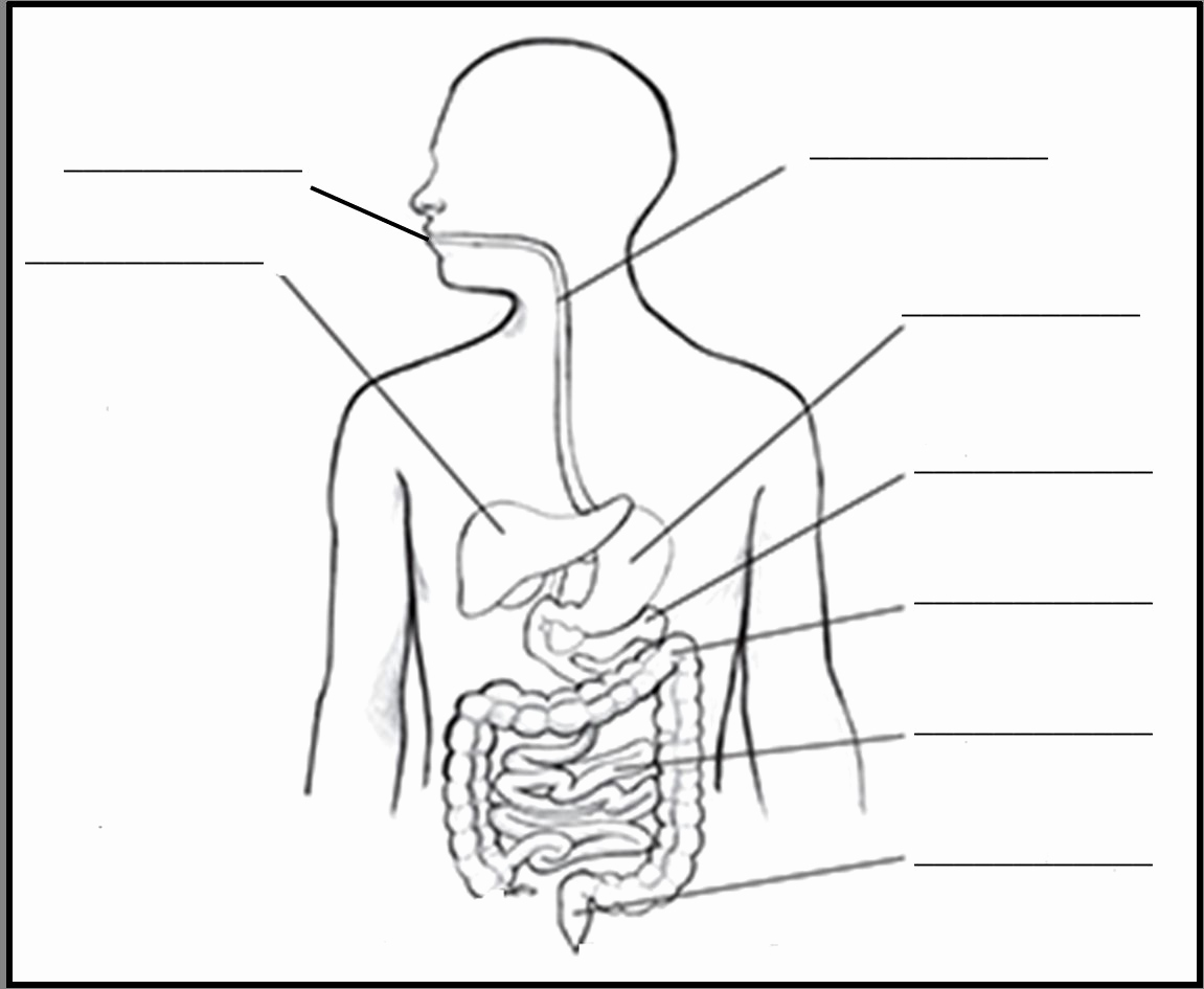 Digestive System Drawing At Paintingvalley