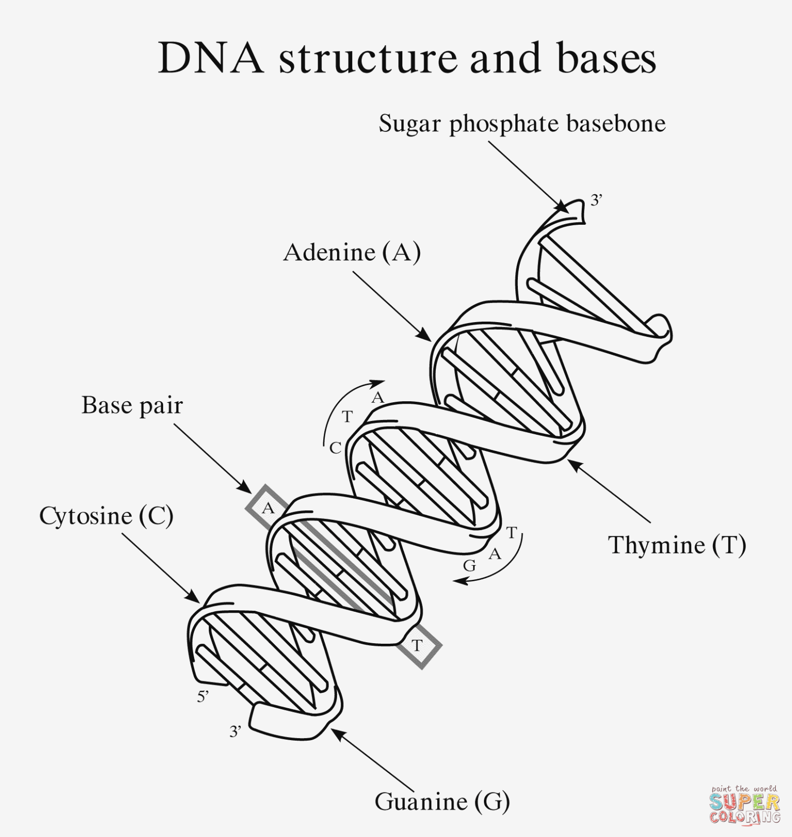 Dna Labeling Worksheet Answers