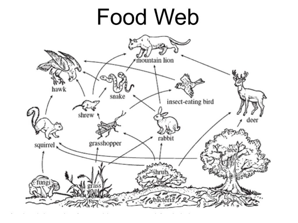 Food Web Drawing At Paintingvalley