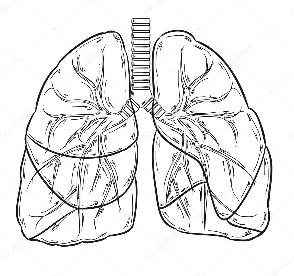 Human Lungs Drawing At Paintingvalley
