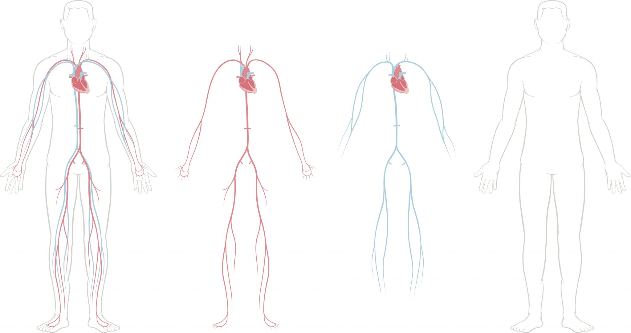Circulatory System Sketch At Paintingvalley