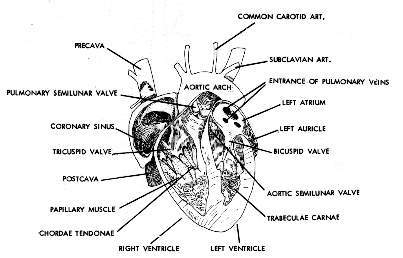Heart Diagram Sketch At Paintingvalley