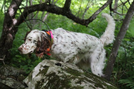 Widget pointing September Grouse in the Catskills