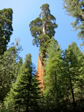 Giant sequoia ~ Kings Canyon NP, CA