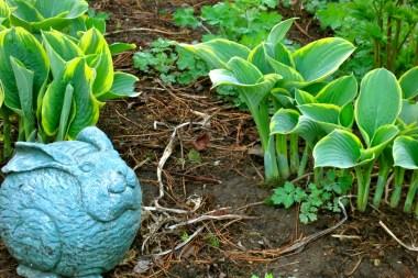 Blue bunny amid the hostas