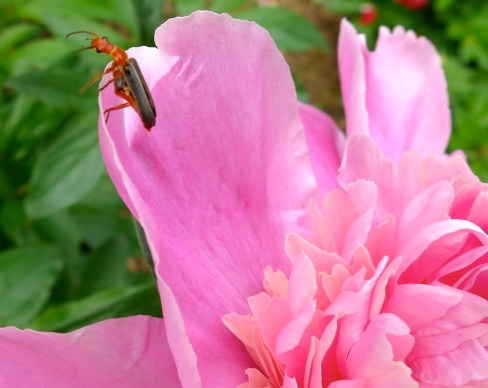 nice pink peony perch