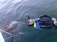 A flirtatious manatee giving Terry a kiss
