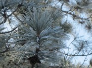 hoar frost, winter, norway pine, red pine, pine cone, pajari girls