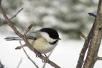 chickadee, pajari girls photography, cook, mn, bird, winter