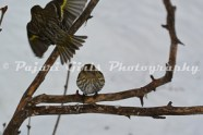 Redpolls_and_Siskins-74