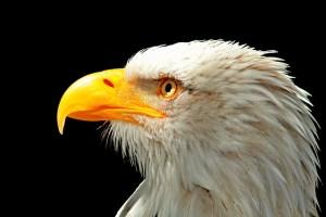 Foto cabeza águila imperial americana