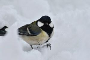Foto carbonero común en la nieve