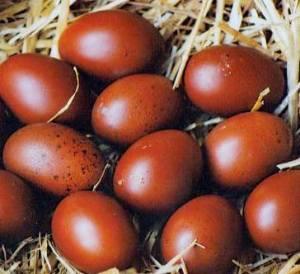 Huevos gallinas de Marans