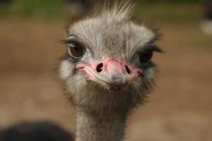 Foto cabeza de avestruz
