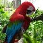 guacamayo-verdirrojo-pajaross.com