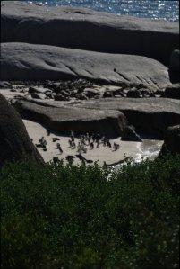 Penguins in Simon's Town