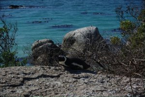Penguins in Simon's Town