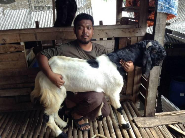 Ternak kambing etawa pemula