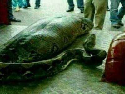 GAMBAR seekor ular sawa yang kekenyangan selepas dipercayai menelan seorang kanak-kanak yang tersebar di laman-laman sosial sejak beberapa hari lalu yang didakwa berlaku di Masai, Johor. Bagaimanapun, pihak polis menafikan dakwaan tersebut.