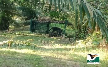 am-:-harimau-malaya-jantan-ditangkap-di-felda-kerteh-4,-terengganu