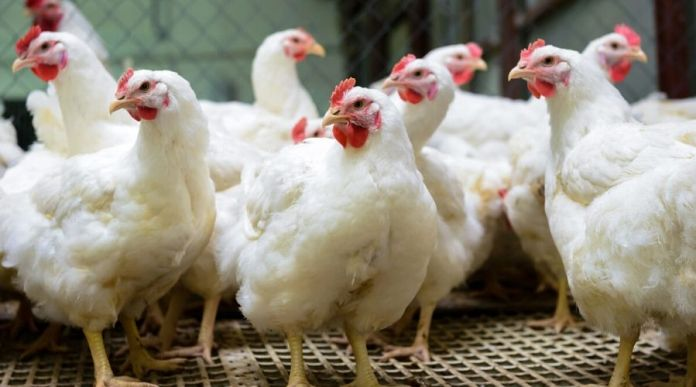 Sale of chicken in Punjab not banned due to Coronavirus