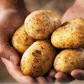 pakistani scientist found new 7 potato kinds