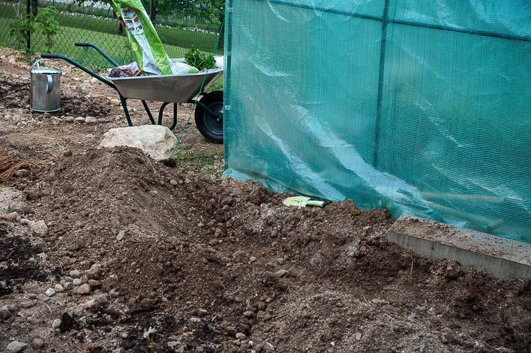 planting asparagus plants-3