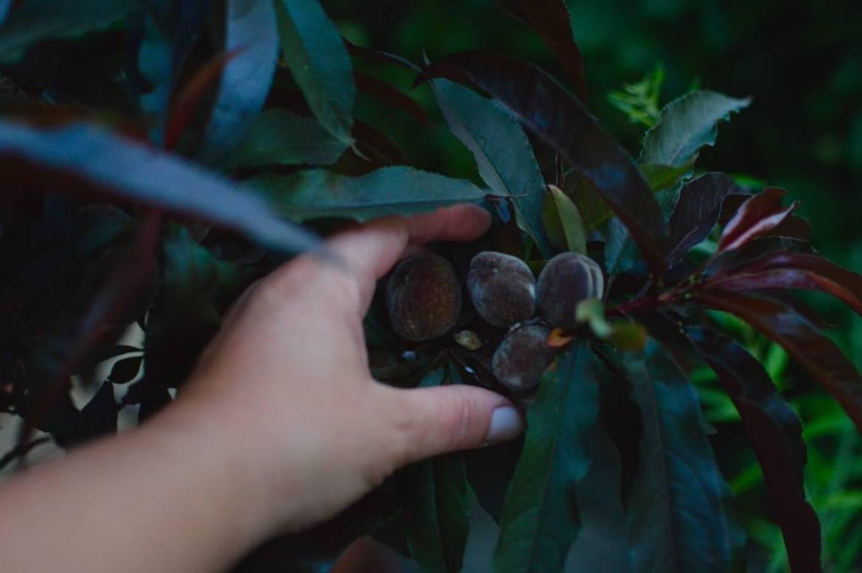 peach kitchen garden - pakovska.com